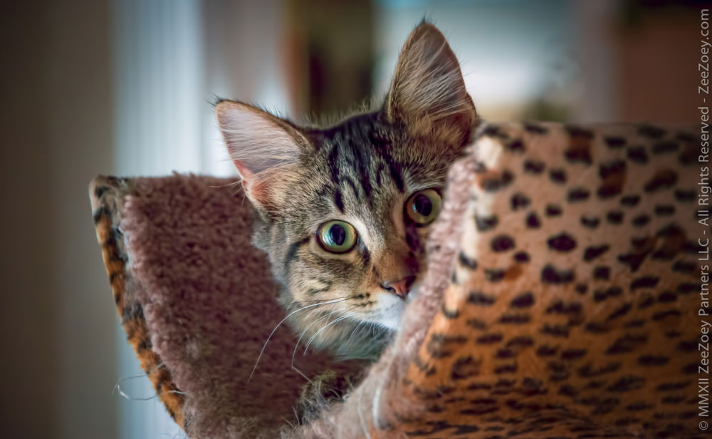 If a male kitten is not neutered at a young he, he could possibly impregnate an unspayed female kitten which would result in a litter of kittens
