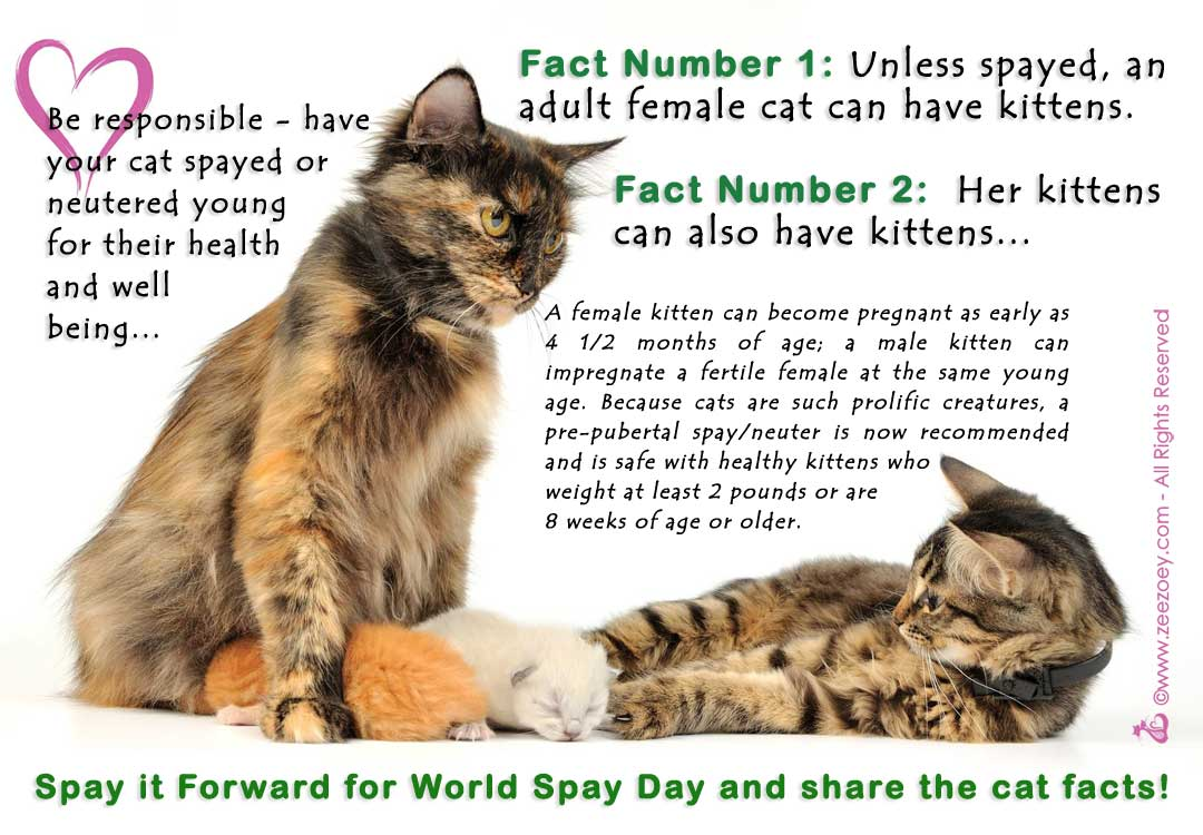 Have your cat spayed at a young age to prevent a litter of kittens and for her health and well-being