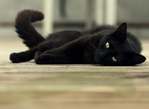 Black cats are among the last to be adopted in shelters and rescues.