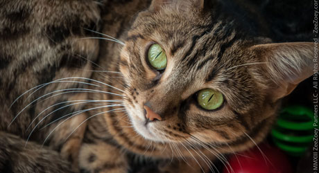 Spaying a female cat can not only reduce risks of cancer, but it will help to make her a happier cat by not going into heat several times a year.