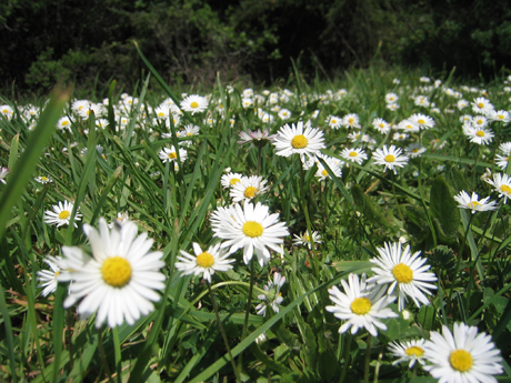 small-daisies