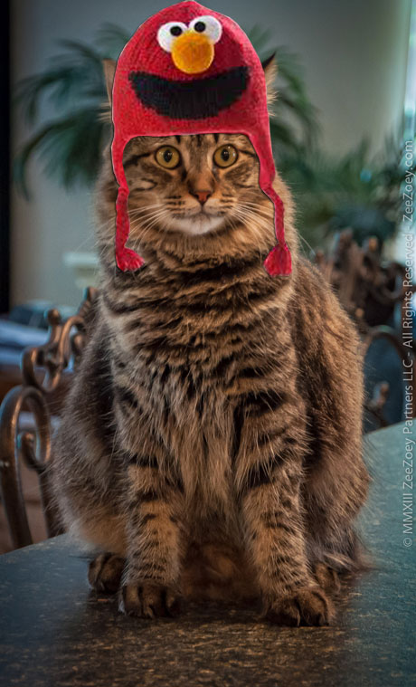 Kizmet the rescue cat from Zee & Zoey's Cat Chronicles wears a hat for Dr. Seuss Read Across America Day!