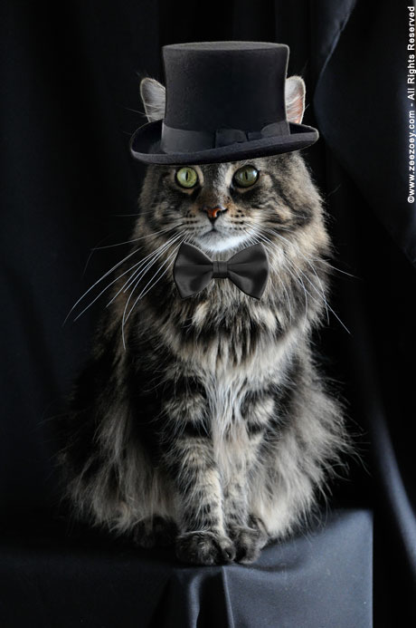 Zee the Maine Coon from Zee & Zoey's Cat Chronicles wears a hat for Dr. Seuss Read Across America Day!