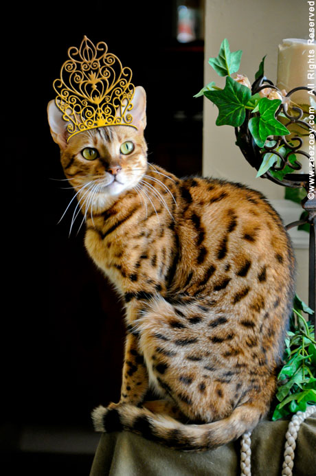 Zoey the Bengal from Zee & Zoey's Cat Chronicles wears a hat for Dr. Seuss Read Across America Day!