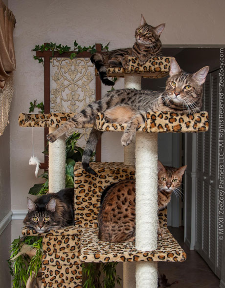 Providing a cat with proper scratching boards and cat condos can eliminate the need for dangerous declawing