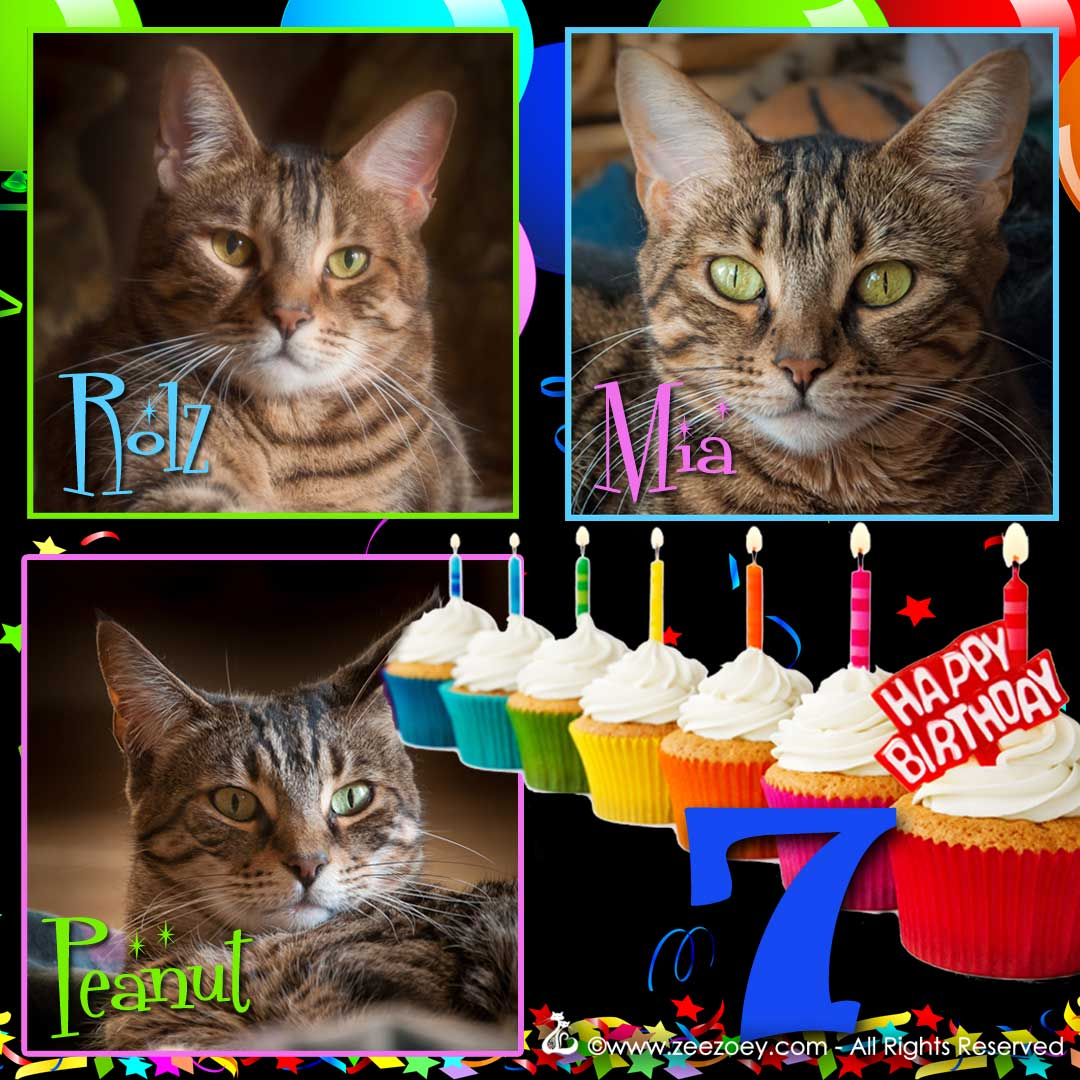 The kittens at Zee & Zoey's Cat Chronicles are all grown up and turn 7 years old.