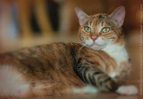 If a cat is not a tortoiseshell, it can be a variation known as a torbie - a striped tabby cat variation