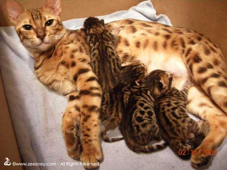 Kittens that were born and live with the mother cat the rest of their lives.
