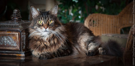 Maine Coon cats are the gentle giants